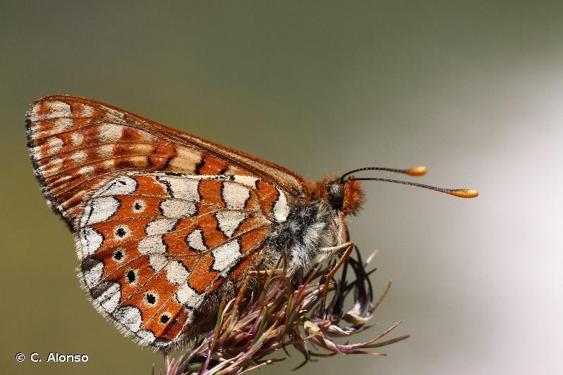 Euphydryas beckeri