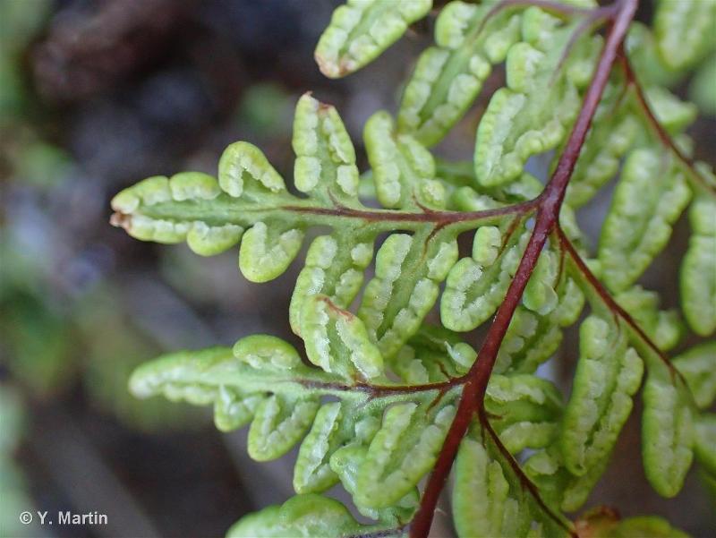 Allosorus pteridioides