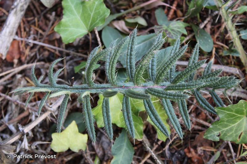 Cirsium eriophorum