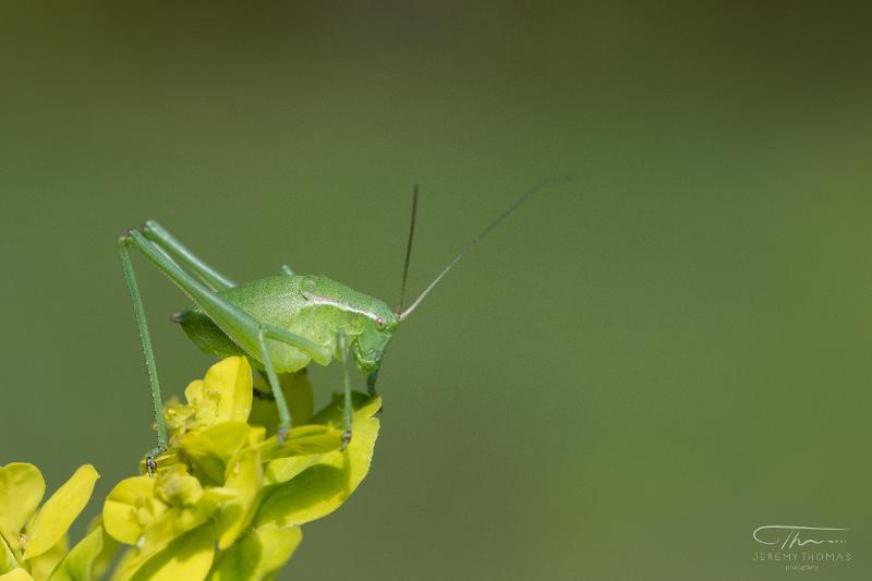 Isophya pyrenaea