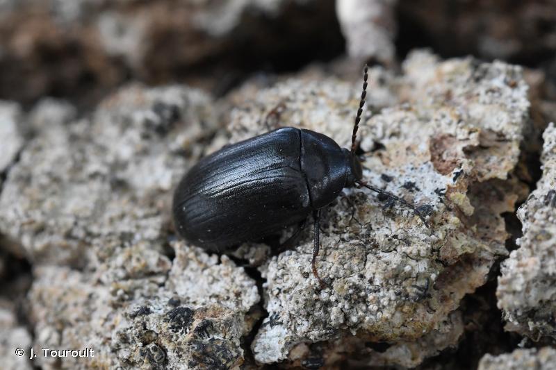 Prionychus fairmairii