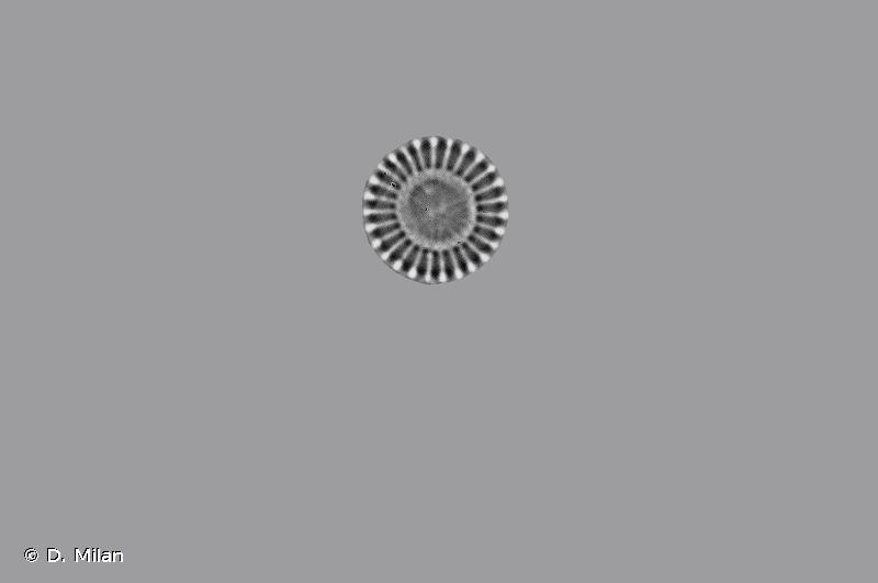 Discostella pseudostelligera