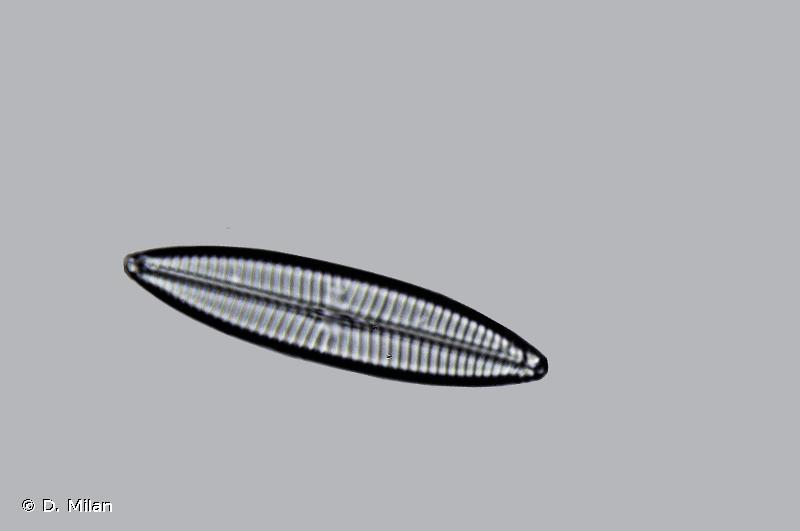 Navicula tripunctata