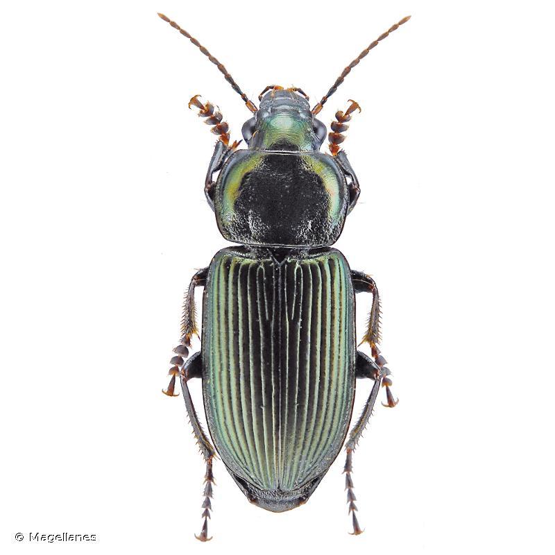 Anisodactylus poeciloides