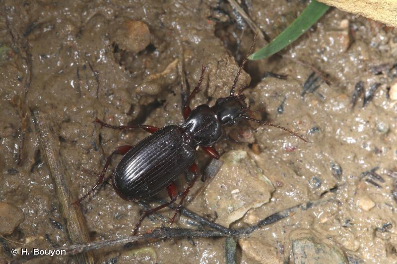 Pterostichus macer