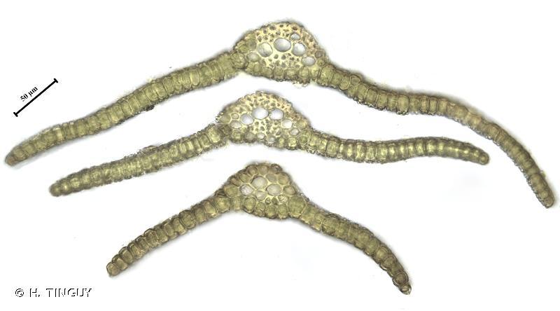 Tortella pseudofragilis