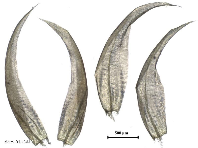Hamatocaulis vernicosus