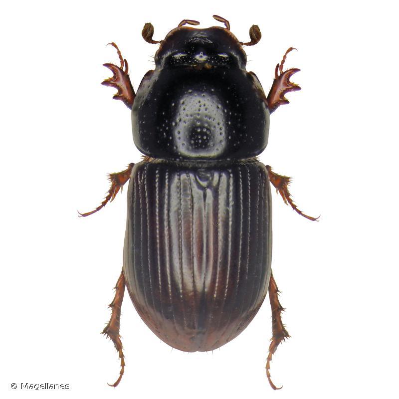 Calamosternus algiricus