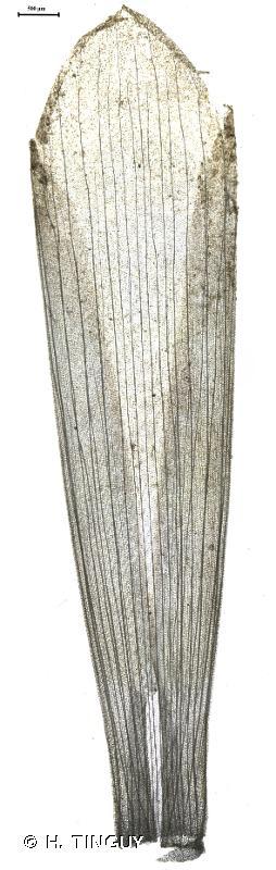 Potamogeton obtusifolius