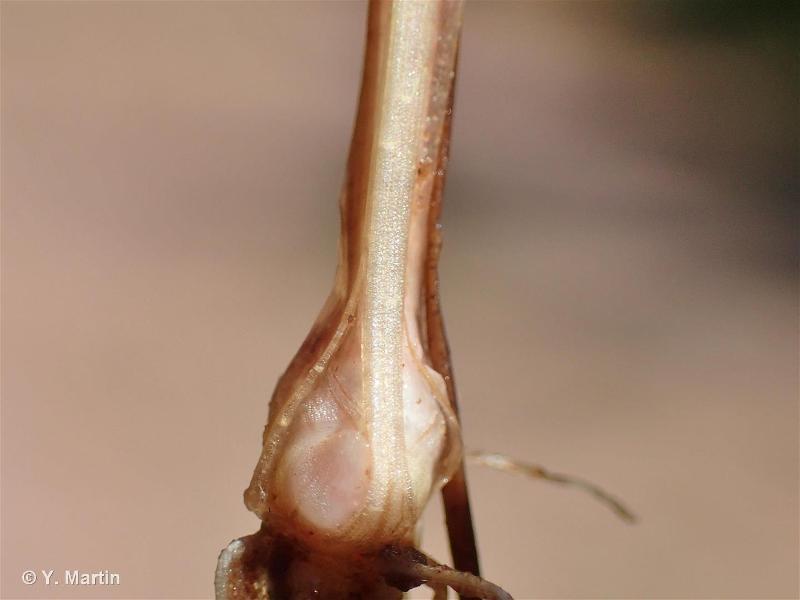 Juncus bulbosus subsp. kochii