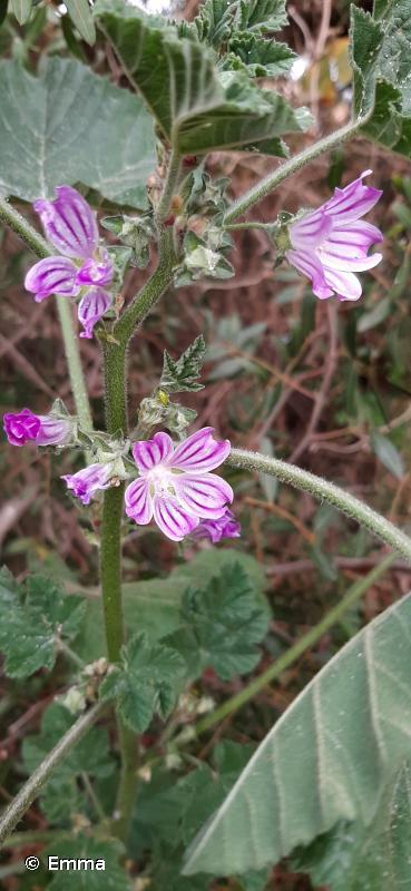 Malva multiflora