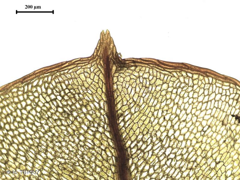 Cinclidium stygium