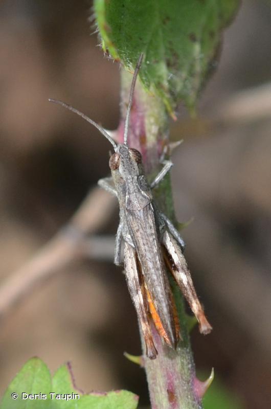 Gomphocerippus vagans