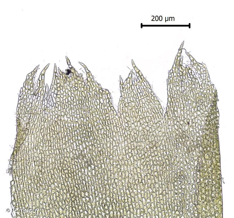 Fuscocephaloziopsis catenulata