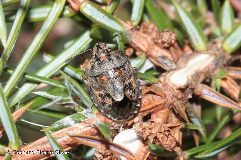 Holcogaster fibulata