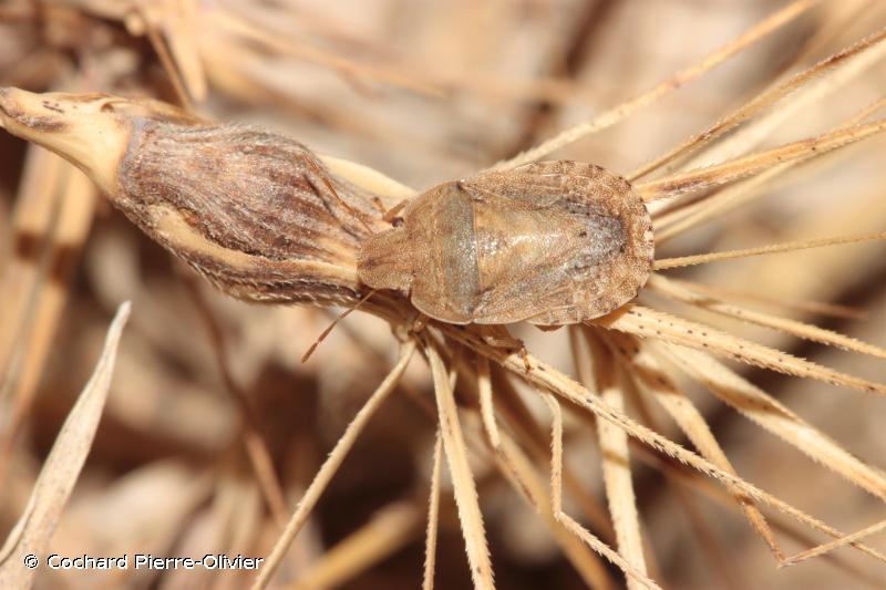Sciocoris macrocephalus
