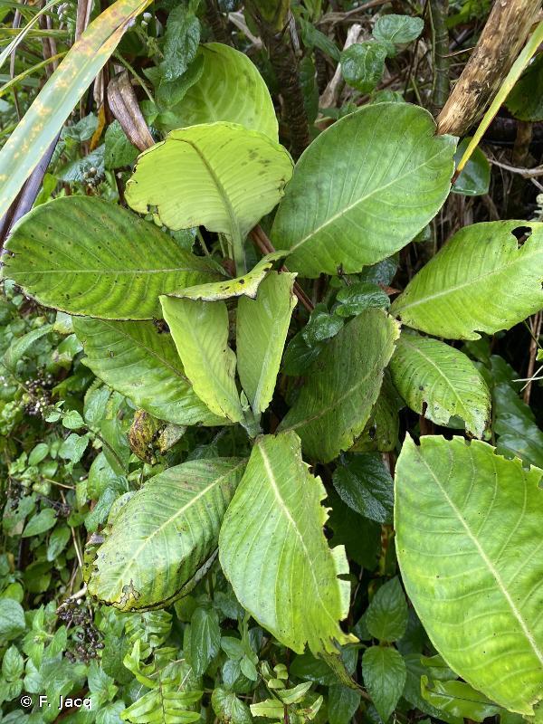 Psychotria taupotinii