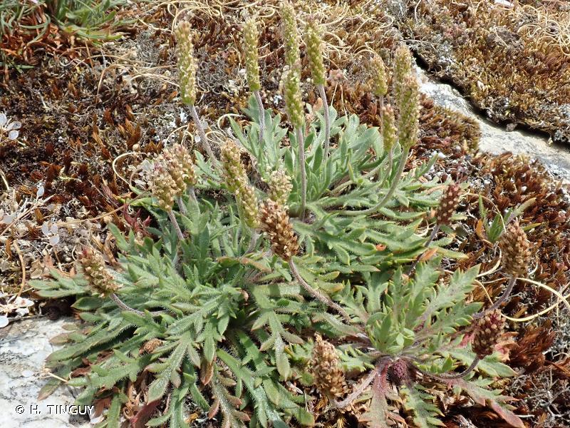 Plantago coronopus