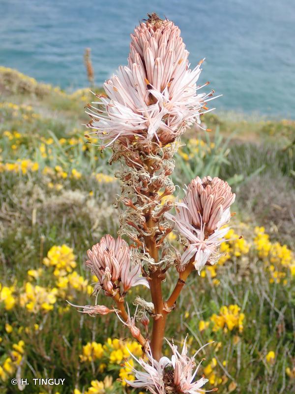 Asphodelus macrocarpus subsp. arrondeaui