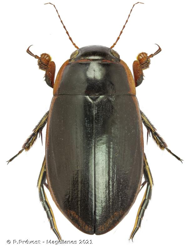 Dytiscus semisulcatus