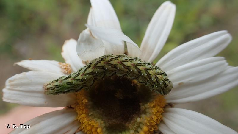 Cucullia chamomillae