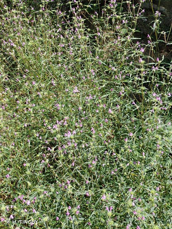 Galeopsis angustifolia