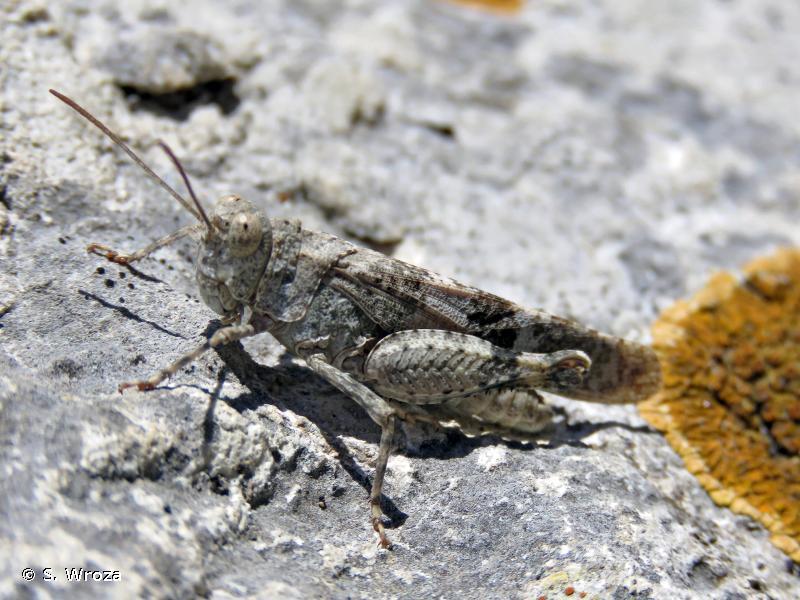 Oedipoda germanica