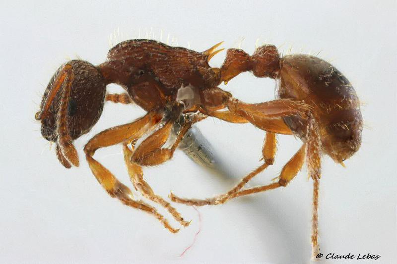 Myrmica schencki