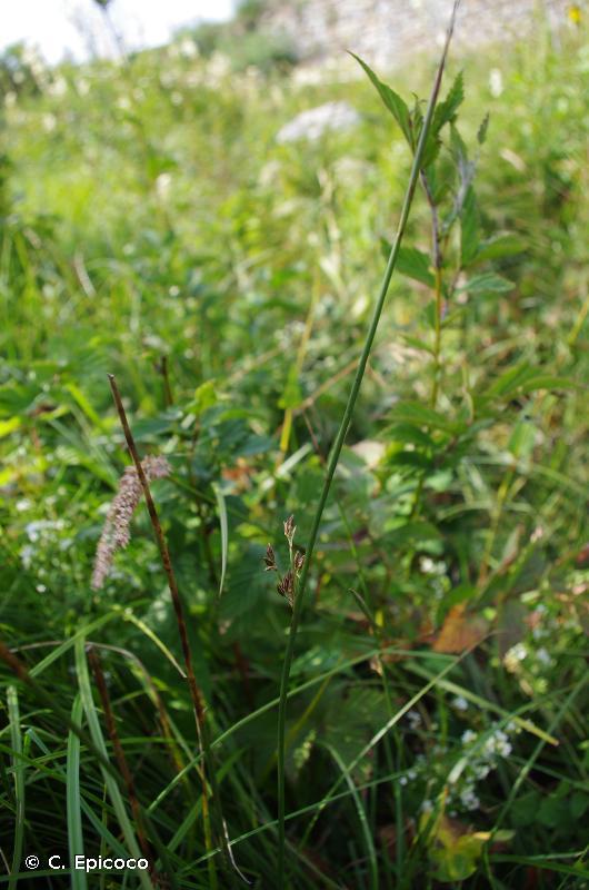 Juncus balticus subsp. pyrenaeus