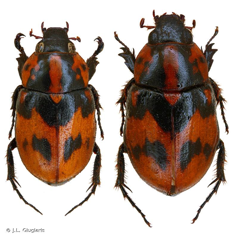 Cyclocephala picipes