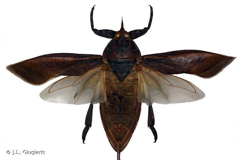 Lethocerus annulipes