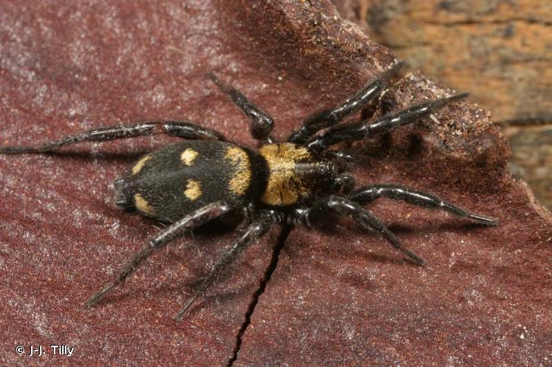 Callilepis nocturna