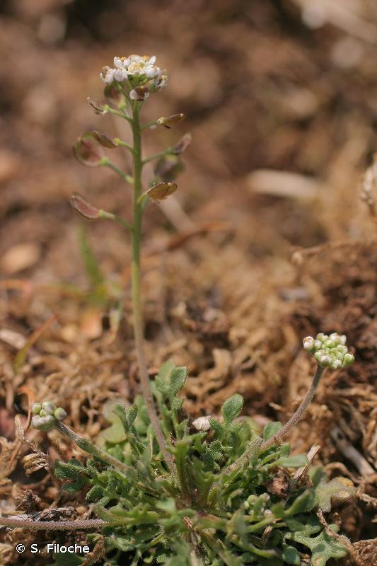 Teesdalia nudicaulis
