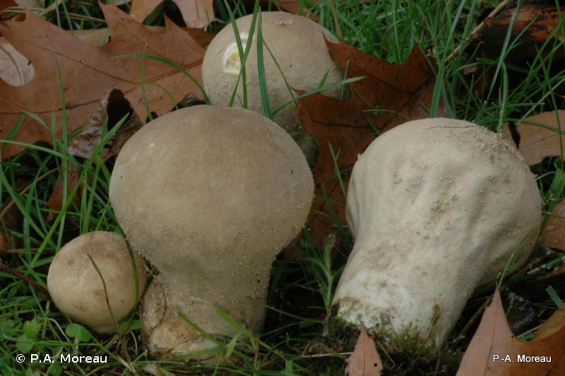 Calvatia excipuliformis