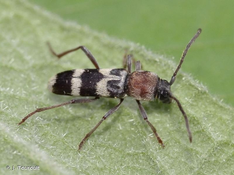 Chlorophorus trifasciatus