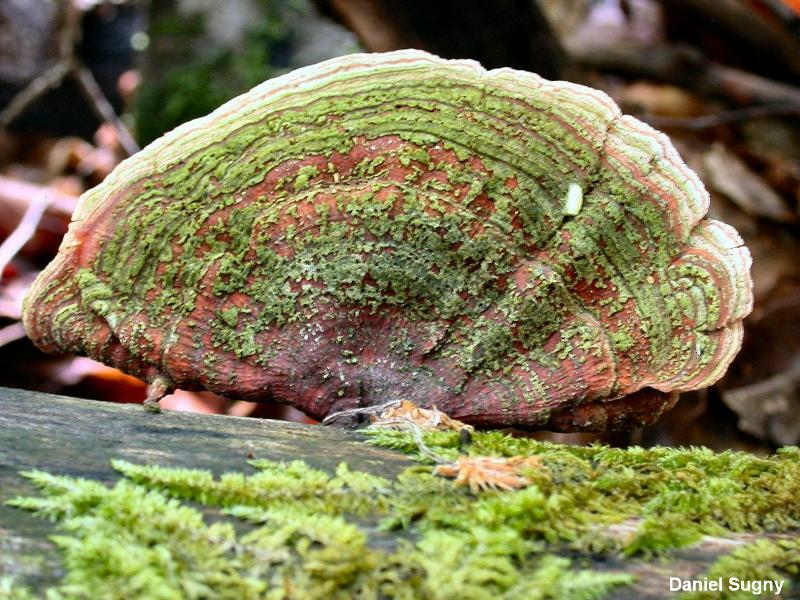 Stereum subtomentosum