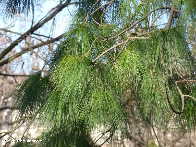 Pinus wallichiana