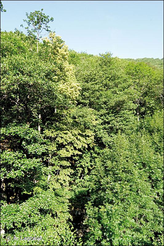 9180 - Forêts de pentes, éboulis, ravins du <em>Tilio-Acerion</em> - Cahiers d'habitats