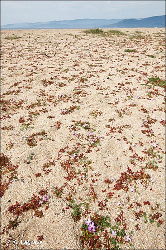 16.228 - Groupements dunaires à Malcolmia - CORINE biotopes