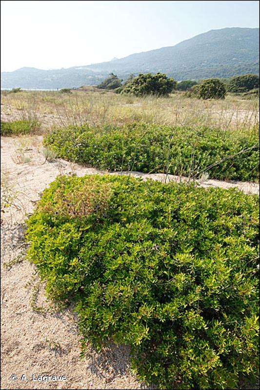 B1.64 - Fourrés et fruticées dunaires sclérophylles - EUNIS
