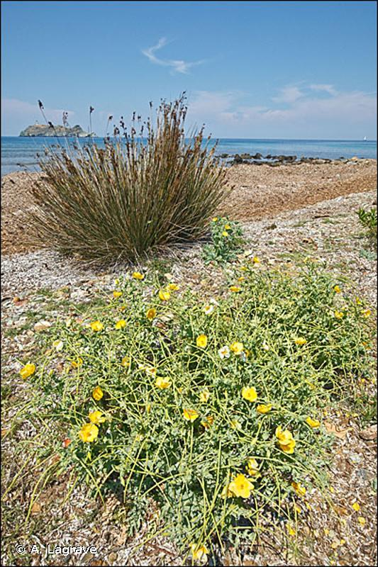 1220 - Végétation vivace des rivages de galets - Habitats d'intérêt communautaire