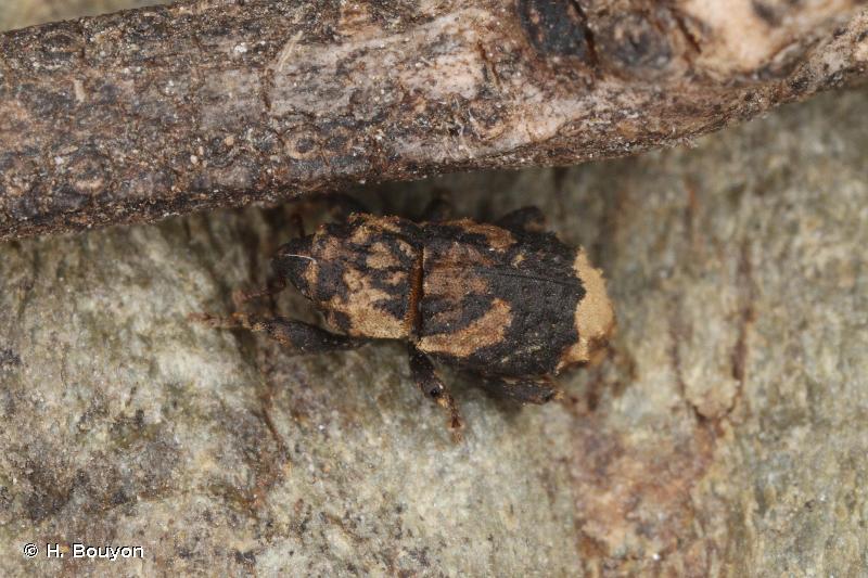 Dichromacalles dromedarius