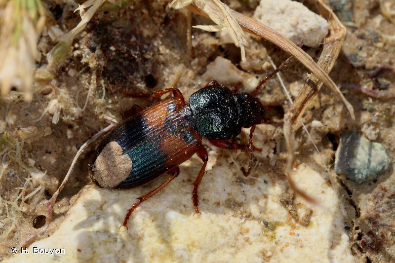 Gynandromorphus etruscus
