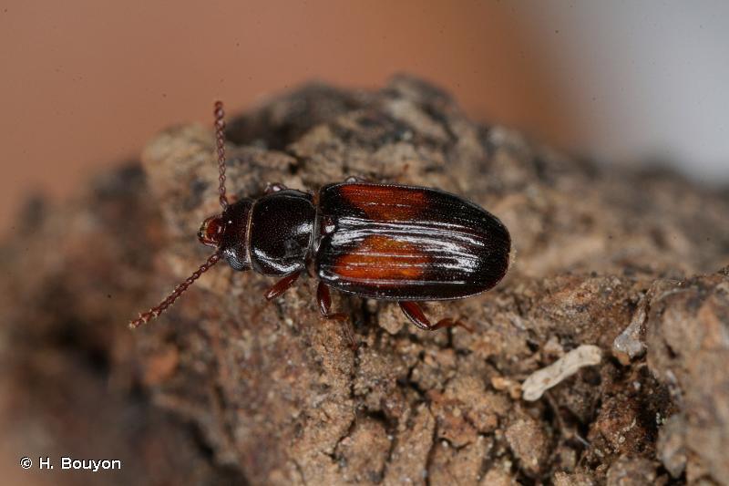 Laemophloeus nigricollis