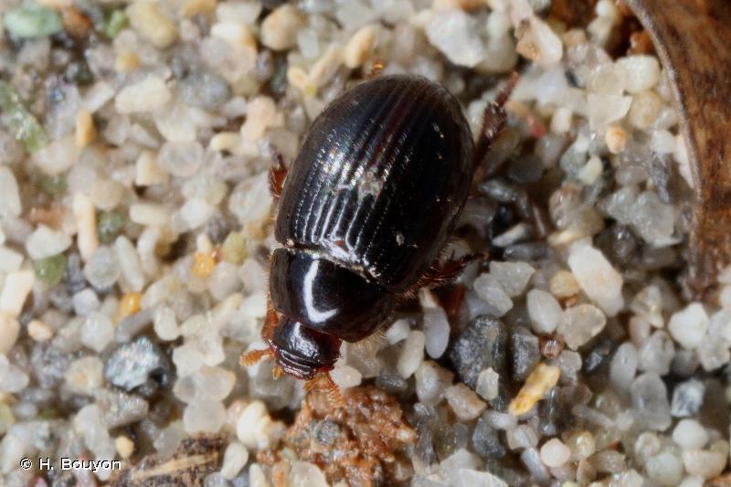 Trachyscelis aphodioides