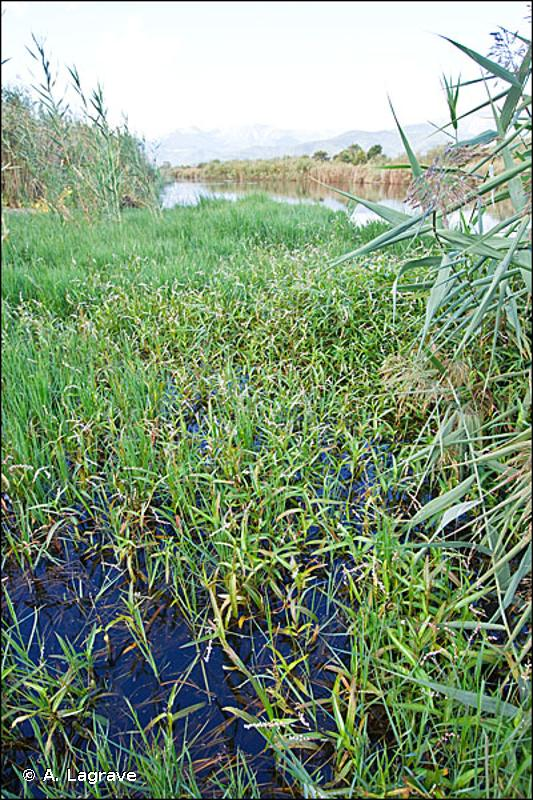 22.4315 - Tapis de Renouées - CORINE biotopes