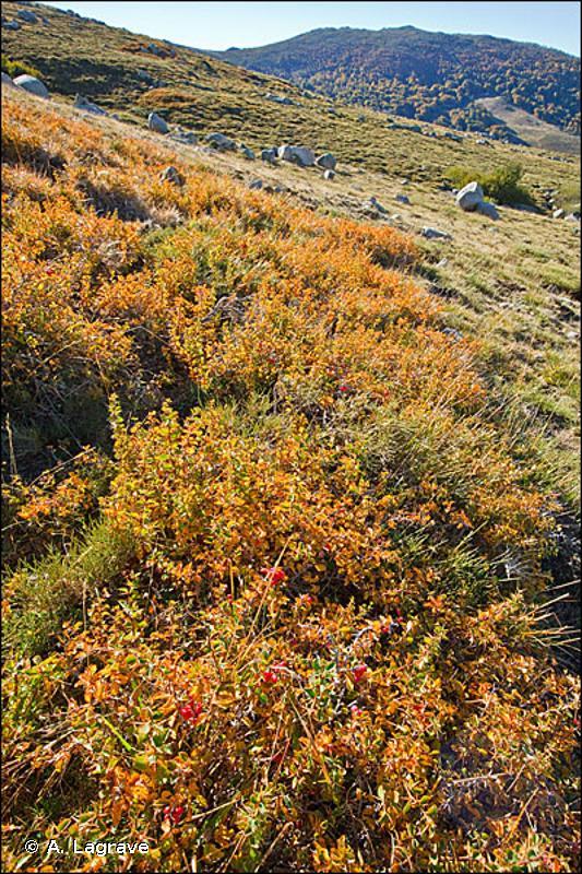 4090-8 - Fruticées montagnardes de Corse - Cahiers d'habitats