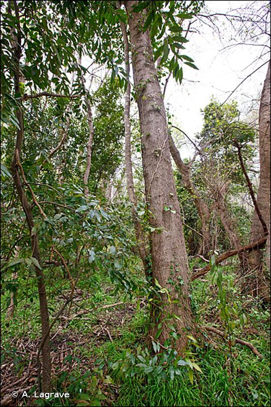 5310 - Taillis de <em>Laurus nobilis</em> - Habitats d'intérêt communautaire