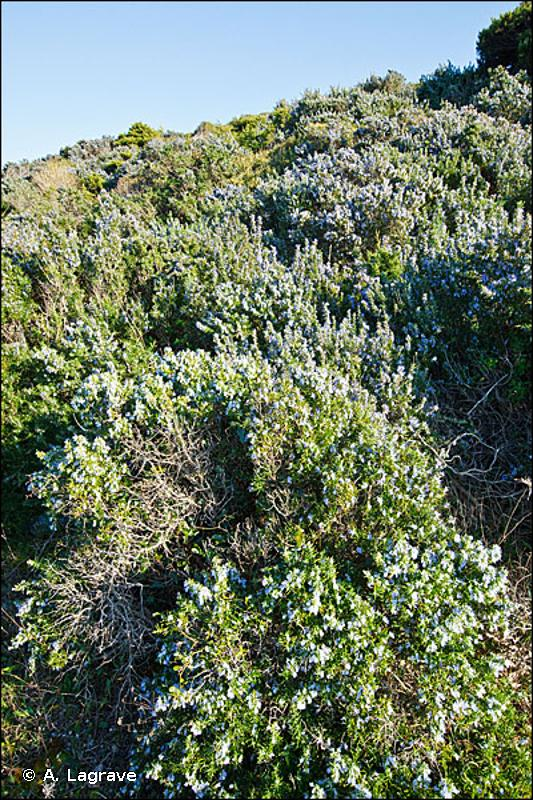 32.42 - Garrigues à romarin - CORINE biotopes