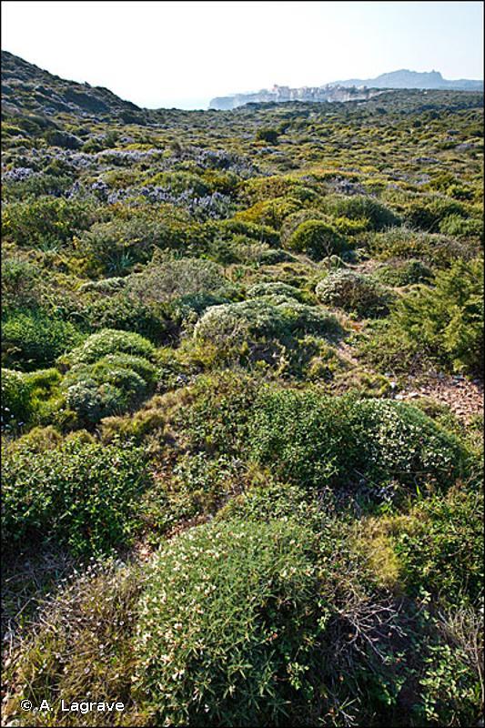 33.1 - Phryganes ouest méditerranéennes des sommets de falaises - CORINE biotopes